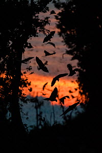 RF - Straw-coloured fruit bats (Eidolon helvum) returning to their daytime roost just before sunrise. Kasanka National Park, Zambia. (This image may be licensed either as rights managed or royalty fre...  -  Nick Garbutt