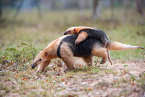 RF - Southern tamandua (Tamandua tetradactyla) carrying its young / infant on her back. Northern Pantanal, Mato Grosso State, Brazil. (This image may be licensed either as rights managed or royalty fr...  -  Nick Garbutt