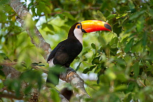 RF - Toco Toucan (Ramphastos toco) in the forest canopy adjacent to the Piquiri River, northern Pantanal, Mato Grosso, Brazil. (This image may be licensed either as rights managed or royalty free.)  -  Nick Garbutt