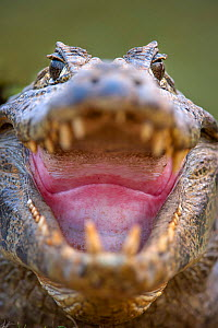 RF - Yacare Caiman (Caiman yacare) at the edge of the Piquiri River, northern Pantanal, Brazil. Gaping to regulate its body temperature (thermoregulation). (This image may be licensed either as rights...  -  Nick Garbutt