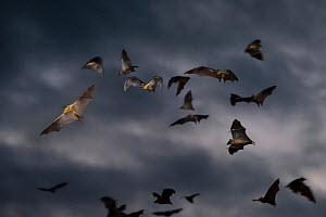 RF - Straw-coloured fruit bats (Eidolon helvum) flying at dusk. Kasanka National Park, Zambia. (This image may be licensed either as rights managed or royalty free.)  -  Nick Garbutt