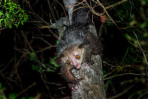 RF - Aye-aye (Daubentonia madagascariensis) female foraging in the middle canopy. Daraina, northern Madagascar. Endemic. Endangered. (This image may be licensed either as rights managed or royalty fre...  -  Nick Garbutt