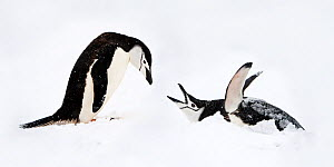 RF - Chinstrap penguins (Pygoscelis antarctica) displaying, Half-Moon Island, South Shetland Islands, Antarctica (This image may be licensed either as rights managed or royalty free.)  -  Nick Garbutt