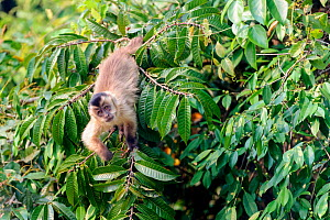 RF - Black-striped tufted capuchin (Cebus libidinosus) in deciduous forest along the banks of the Pixiam River, Northern Pantanal, Brazil. (This image may be licensed either as rights managed or royal...  -  Nick Garbutt