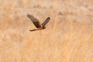 Northern Harrier (Circus cyaneus) female in flight over field in winter, Ulster County, New York, USA  -  Marie Read