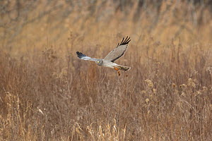 Northern Harrier (Circus cyaneus) male in flight over field in winter, Ulster County, New York, USA  -  Marie Read