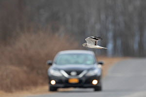 Northern Harrier (Circus cyaneus) male flying across a road in front of an approaching vehicle, Ulster County, New York, USA  -  Marie Read