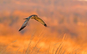 Northern Harrier (Circus cyaneus) male in flight over field at sunset in winter, Ulster County, New York, USA  -  Marie Read