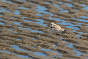 Piping Plover (Charadrius melodus) with pattern of sand and water on a beach, Ipswich, Massachusetts, USA.  -  Marie Read