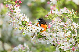 Baltimore Oriole (Icterus galbula) male with spider prey, perched in crabapple blossom in spring, Ithaca, New York, USA  -  Marie Read