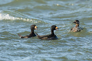 Two male Black Scoters (Melanitta nigra) calling while courting female, Barnegat Light, New Jersey, USA  -  Marie Read