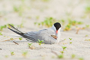 Common Tern (Sterna hirundo) brooding chick peeping out from under wing, Nickerson Beach, Long Island, New York, USA  -  Marie Read