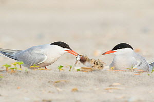 Common Tern (Sterna hirundo) pair, one adult brings fish to feed chicks while the other sits nearby, Nickerson Beach, Long Island, New York, USA  -  Marie Read
