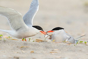 Common Tern (Sterna hirundo) pair, one adult feeds a fish to chick while the other adult broods chick, Nickerson Beach, Long Island, New York, USA  -  Marie Read