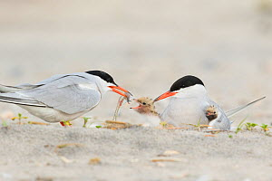 Common Tern (Sterna hirundo) pair, one adult feeds a fish to chick while the other adult broods another chick, Nickerson Beach, Long Island, New York, USA  -  Marie Read
