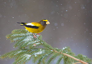 Evening Grosbeak (Coccothraustes vespertinus) male perched on spruce branch with falling snow, in winter, New York, USA  -  Marie Read