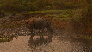 Indian rhinoceros (Rhinoceros unicornis) drinking from a river, Chitwan National Park, Nepal.  -  Dave Watts
