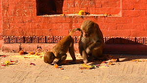 Female Rhesus macaque (Macaca mulatta) feeding with young, Swayambhunath Temple, Kathmandu, Nepal, 2019.  -  Dave Watts