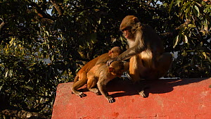 Female Rhesus macaque (Macaca mulatta) with two infants, playing and social grooming, Swayambhunath Temple, Kathmandu, Nepal, 2019.  -  Dave Watts