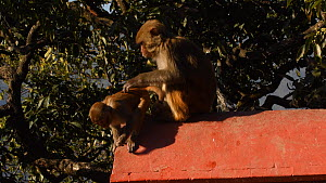 Female Rhesus macaque (Macaca mulatta) scratching, joined by infant, female starts to groom infant before both leave, Swayambhunath Temple, Kathmandu, Nepal, 2019.  -  Dave Watts