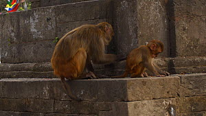 Female Rhesus macaque (Macaca mulatta) feeding with infant, Swayambhunath Temple, Kathmandu, Nepal, 2019.  -  Dave Watts
