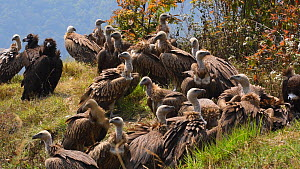Mixed flock of Himalayan griffon vultures (Gyps himalayensis) and European black vulture (Aegypius monachus) feeding on dead goat, near Mardi Himal, Annapurna Range, Nepal.  -  Dave Watts