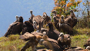 Mixed flock of Himalayan griffon vultures (Gyps himalayensis) and European black vulture (Aegypius monachus) resting on a clifftop after feeding, near Mardi Himal, Annapurna Range, Nepal.  -  Dave Watts