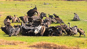 White rumped vultures (Gypes bengalensis) feeding on a dead buffalo, near Chitwan National Park, Nepal.  -  Dave Watts
