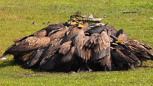 White rumped vultures (Gypes bengalensis) jostling each other to feed on a dead buffalo, Chitwan National Park, Nepal.  -  Dave Watts