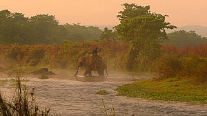 Indian elephant (Elephas maximus indicus) and mahouts crossing a river, carrying grass bundles, Chitwan National Park, Nepal, 2019.  -  Dave Watts
