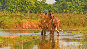 Two Indian elephant (Elephas maximus indicus) and mahouts crossing a river, carrying grass bundles, Chitwan National Park, Nepal, 2019.  -  Dave Watts