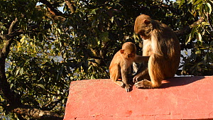 Female Rhesus macaque (Macaca mulatta) sitting with infant, pushes it away and scratches, Swayambhunath Temple, Kathmandu, Nepal, 2019.  -  Dave Watts