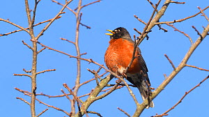 American robin (Turdus migratorius) singing in early spring, Ithaca, New York, USA, March.  -  Marie Read