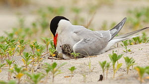 Common tern (Sterna hirundo) brooding chicks and an egg at nest, Long Island, New York, USA, June.  -  Marie Read