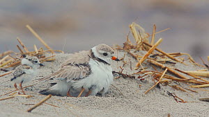 Piping plover (Charadrius melodus) brooding chicks, one chick running and trying to get under adult, another chick emerging and running off, Massachusetts, USA, June.  -  Marie Read