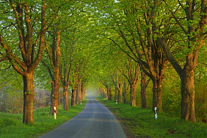 Chestnut trees (Aesculus hippocastanum) lining road, Uckermark, Germany, April.  -  Sandra Bartocha