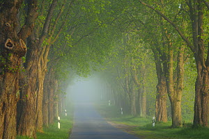 Chestnut tree (Aesculus hippocastanum) lined avenue, Uckermark, Germany, April.  -  Sandra Bartocha