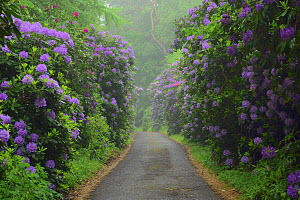Common rhododendron (Rhododendron ponticum) lined path, Semper Park , Ruegen, Germany, March.  -  Sandra Bartocha