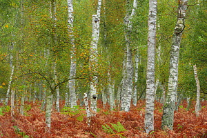 Birch trees (Betula sp) and Bracken (Pteridium aquilinum) Ahrenshoop, Germany, October.  -  Sandra Bartocha