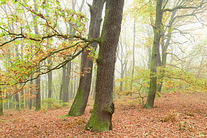 Oak tree (Quercus robur) forest, Potsdam, Germany, October.  -  Sandra Bartocha
