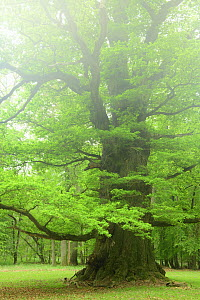 Ancient Oak tree (Quercus robur) Ivenack, Germany, May.  -  Sandra Bartocha