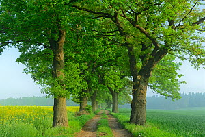 Farm track lined with Oak trees (Quercus robur) Demmin, Germany  -  Sandra Bartocha