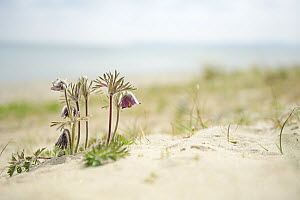 Small pasqueflower / Pasque flower (Pulsatilla pratensis) on the beach, Prora, Ruegen, Germany, May.  -  Sandra Bartocha