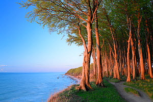 European beech trees (Fagus sylvatica), growing along coast of Baltic Sea, Maerchenwald, Wittow, Ruegen, Germany  -  Sandra Bartocha