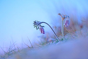 Small pasqueflower / Pasque flower (Pulsatilla pratensis) at the beach, Prora, Ruegen, Germany, May.  -  Sandra Bartocha