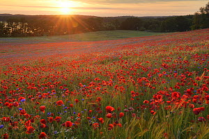 Field of poppies (Papaver rhoeas) and Cornflowers (Centaurea cyanus) Nonnenmuehle, Germany, June.  -  Sandra Bartocha