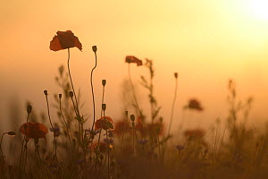 Poppies (Papaver rhoeas) at sunset, Nonnenmuehle, Germany, June.  -  Sandra Bartocha