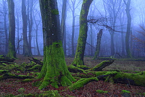 European Beech (Fagus sylvatica) forest in winter, Jasmund National Park, Ancient Beech forest UNESCO World Natural Heritage, Ruegen, Germany,  -  Sandra Bartocha