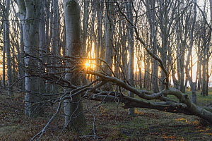 European beech (Fagus sylvatica) forest, with fallen tree at dusk Ruegen, Germany, January.  -  Sandra Bartocha