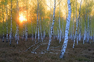 Silver birch (Betula pendula) trees and Common heather (Caluna vulgaris) at sunset, Schlaubetal Nature Park, Reicherskreuzer Heide, Germany, April.  -  Sandra Bartocha